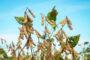 Abiove eleva previsão de produção de soja no Brasil