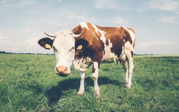 Esalq abre inscrições para curso sobre produção de bovinos leiteiros