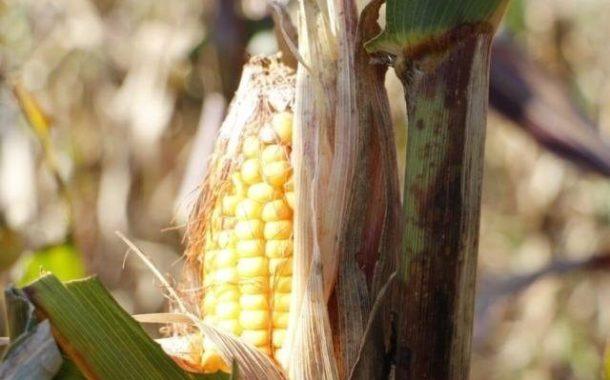 Preço do milho em Mato Grosso do Sul tem valorização de 3,72%