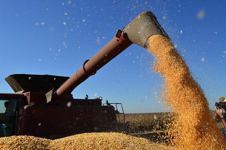 Produtores de milho já colheram 44,5% da área plantada em MS
