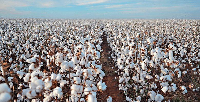 Safra de algodão de MS tem o maior índice de produtividade do Brasil