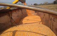 Produção de milho 2ª safra em MS soma 7,8 milhões de toneladas