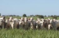 Precoce MS abateu 798 mil animais em um ano e meio da reformulação do programa