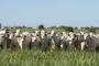 Desequilíbrio entre oferta e demanda eleva preço do boi gordo em MS