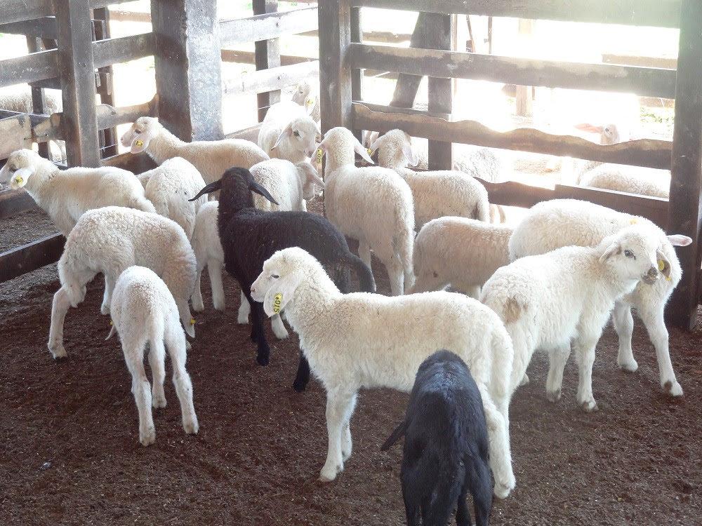 Inscrições abertas para curso básico em ovinocultura