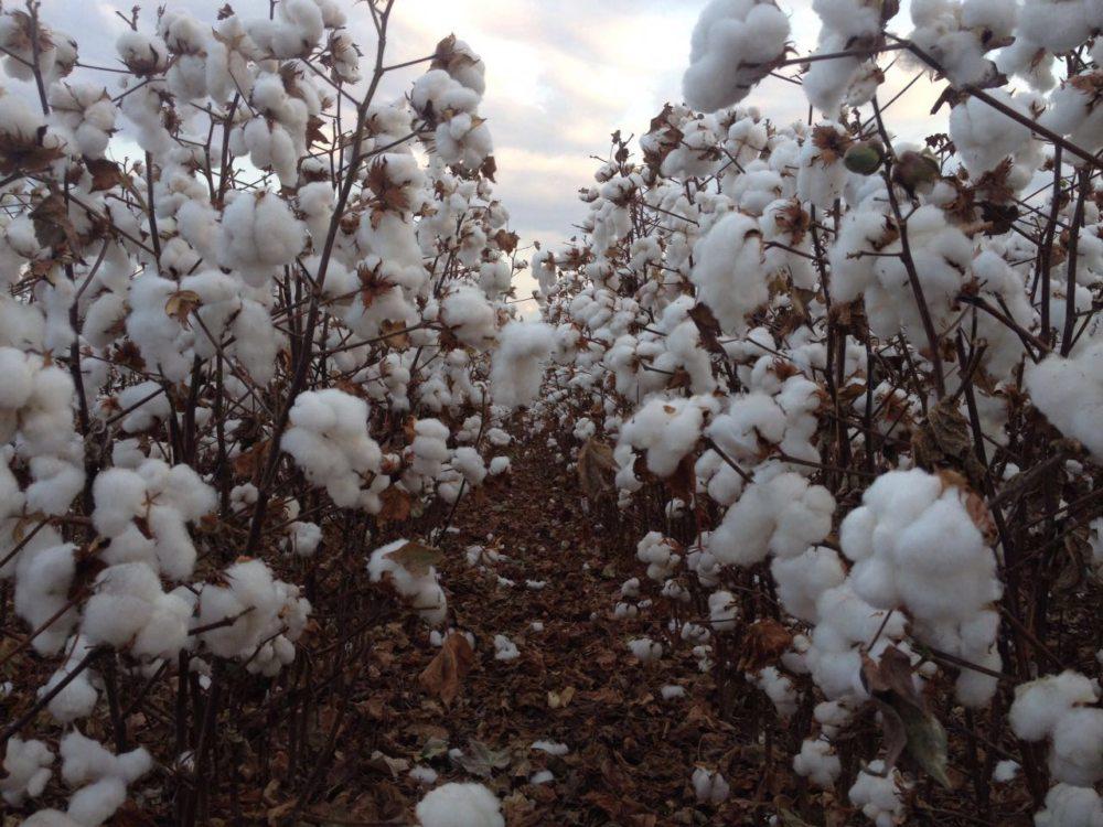 Exportação de algodão do Brasil à China deve crescer com guerra comercial, diz USDA