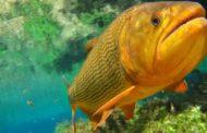 Pesca do Dourado é proibida em Mato Grosso do Sul por cinco anos