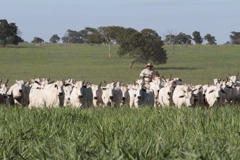 Com custo de produção maior, produtores de MS esperam valorização da arroba do boi para 'conta fechar' na fazenda