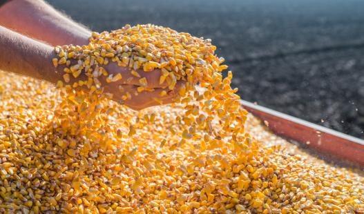 MS deve colher 10,12 mi de toneladas de milho na safrinha, volume 29,2% maior