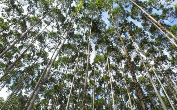 Em dois anos, área de plantio de eucalipto sobe 11% em MS
