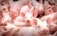 Exportações de carne suína crescem 5,65% em 2019
