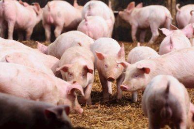 Exportações de carne suína crescem 44,3% em abril