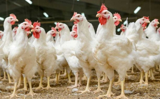 Preço médio do quilo do frango registrou valorização de 21,4% em MS em 2019