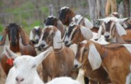 Política nacional vai incentivar criação de ovinos e caprinos