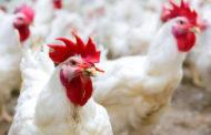 Frango: Julho começa com melhora de preços no atacado e estabilidade na granja