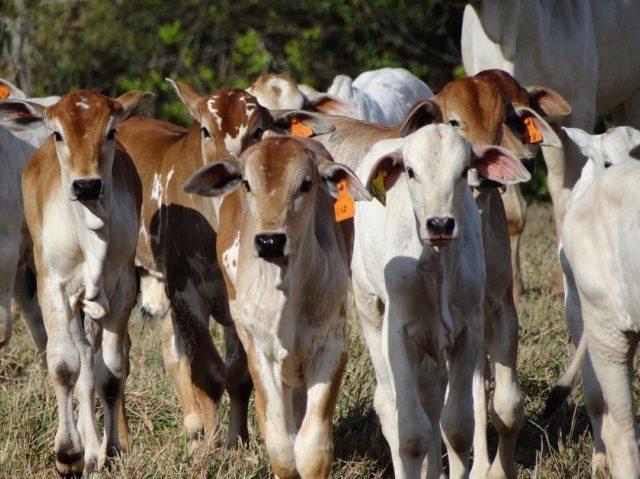 IATF: Mato Grosso do Sul já insemina 20% do seu rebanho