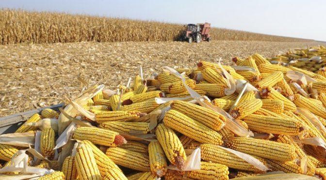 Safra recorde de milho pode ser ainda maior em MS: 11 milhões de toneladas