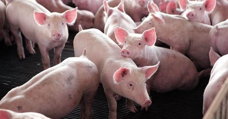 Quantidade de suínos exportados é 3º maior