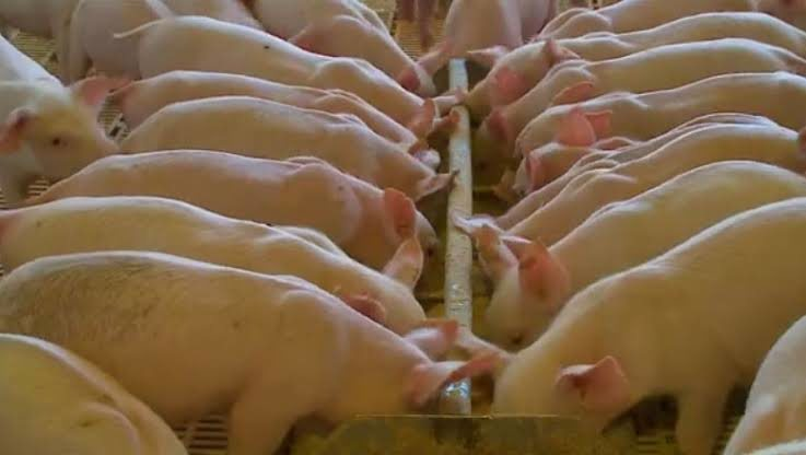 Preço de suínos sobe em toda cadeia produtiva, diz Cepea