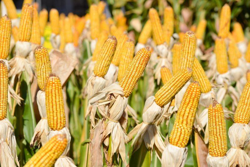 Mais um recorde histórico marca a safra de grãos com 251 milhões de toneladas