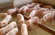 Comissão técnica é criada para debater ações preventivas à peste suína