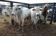 Preços do boi seguem subindo com pastagens em excelentes condições