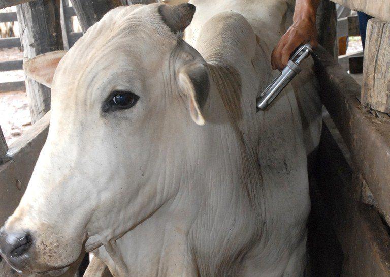 Status de livre de febre aftosa sem vacinação vai potencializar o mercado de proteína animal do MS